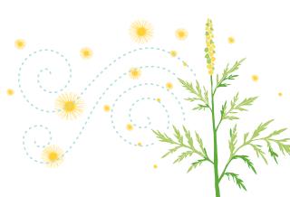 La réalité de l'herbe à poux